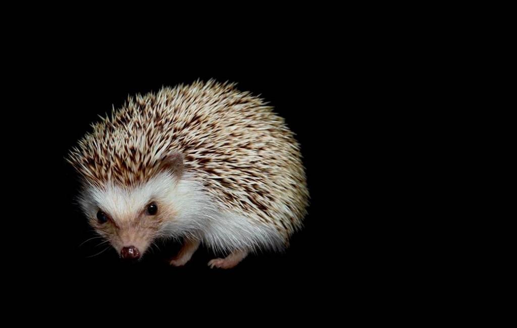 19_Nocturne_Hedgehog2.nbcnews-ux-1040-700