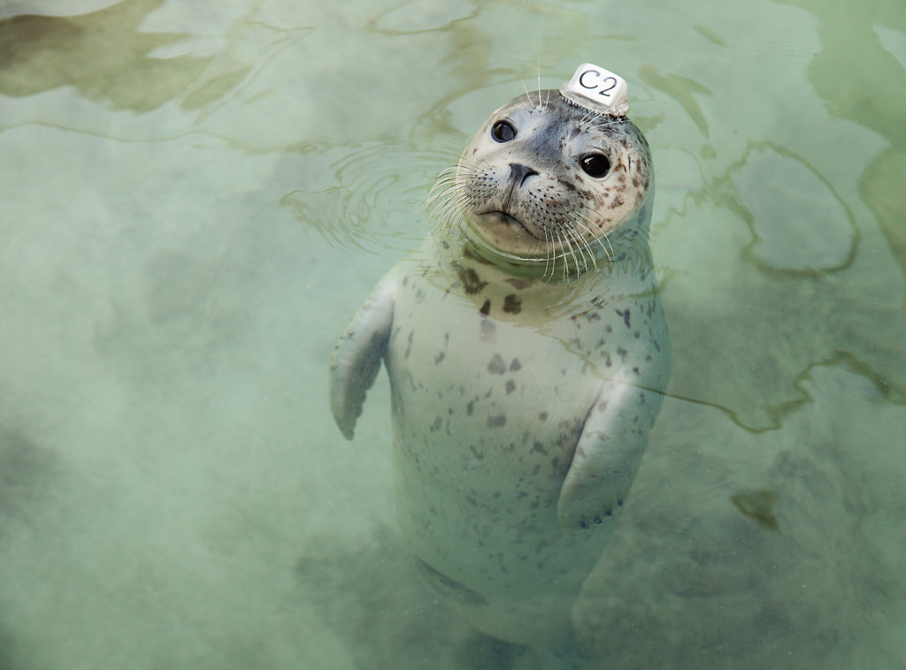 Harbor Seal pup wearing a plastic id disk attached to its head.