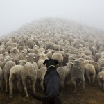 The pack: photos of working dogs in New Zeeland