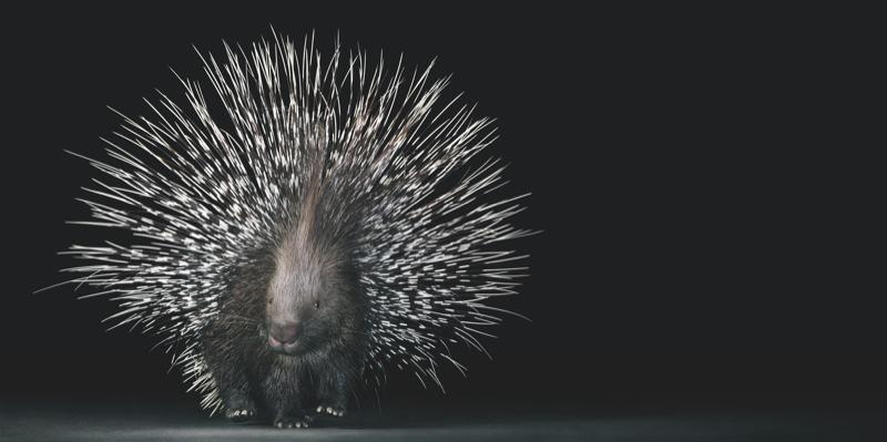 Crested porcupine_800